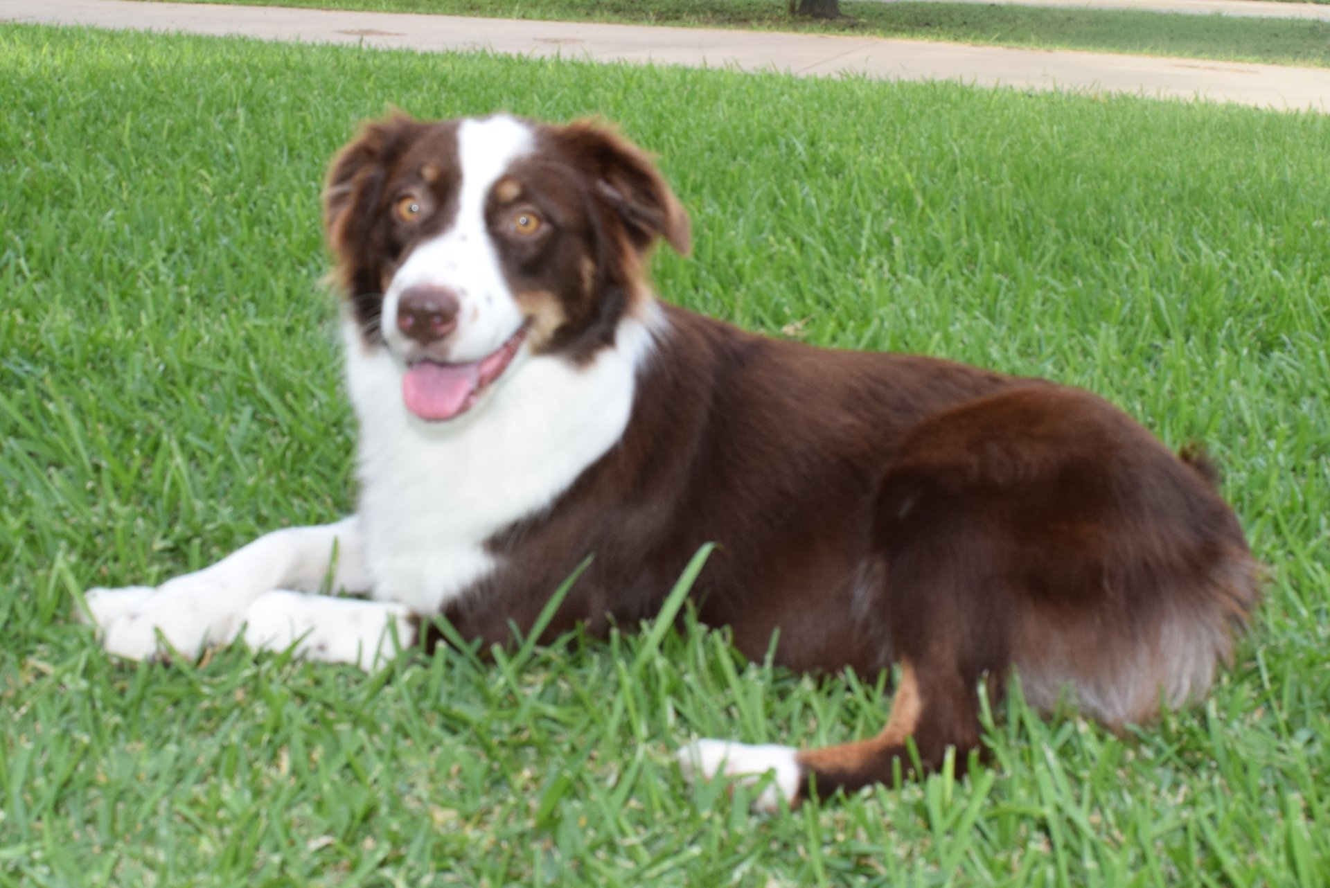 Red Merle Australian Shepherd Female Full white colla
