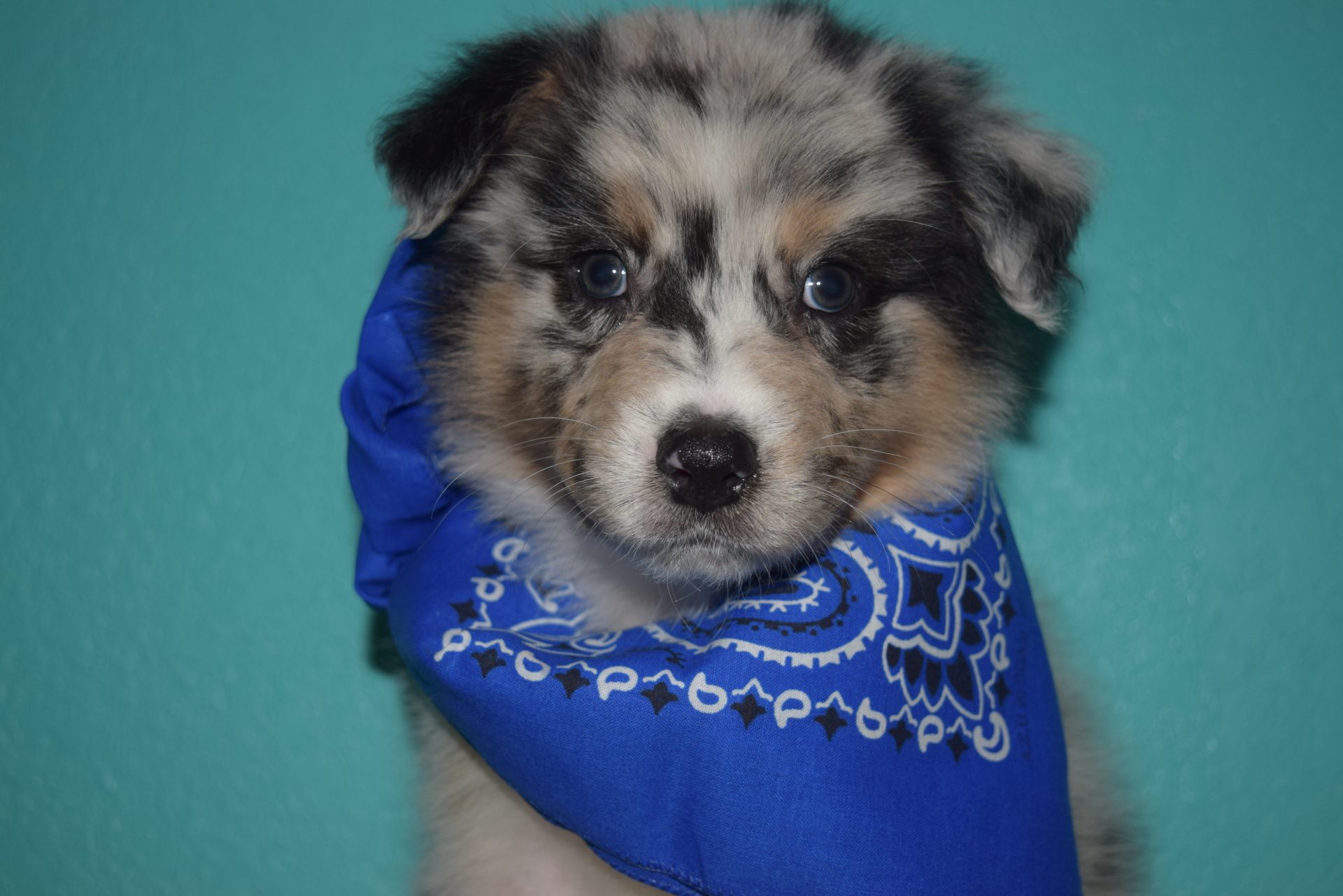 Blue Merle Male Australian Shepherd Puppy #2 1 day