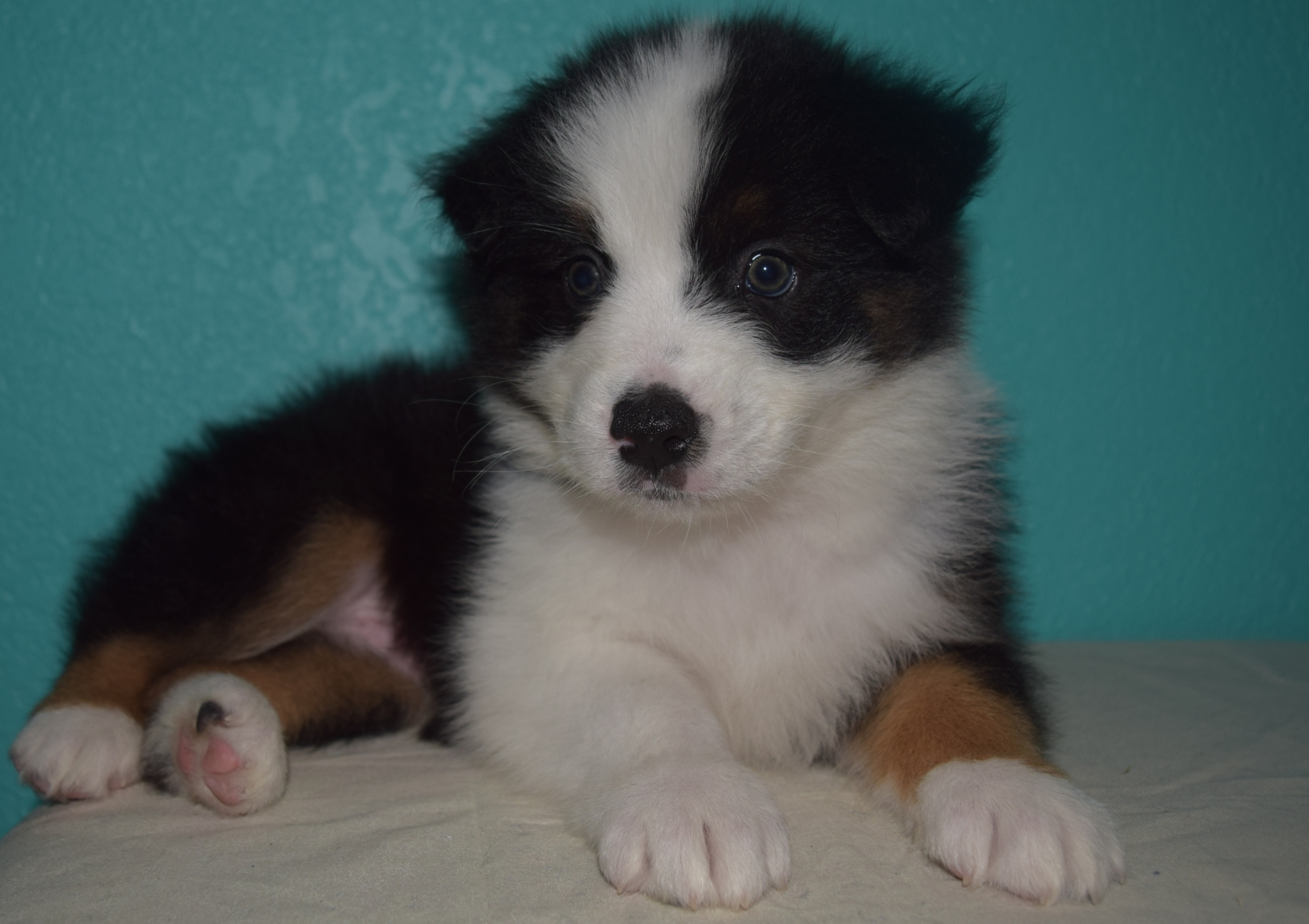 Black Tri Male Australian Shepherd Puppy #3 1 day