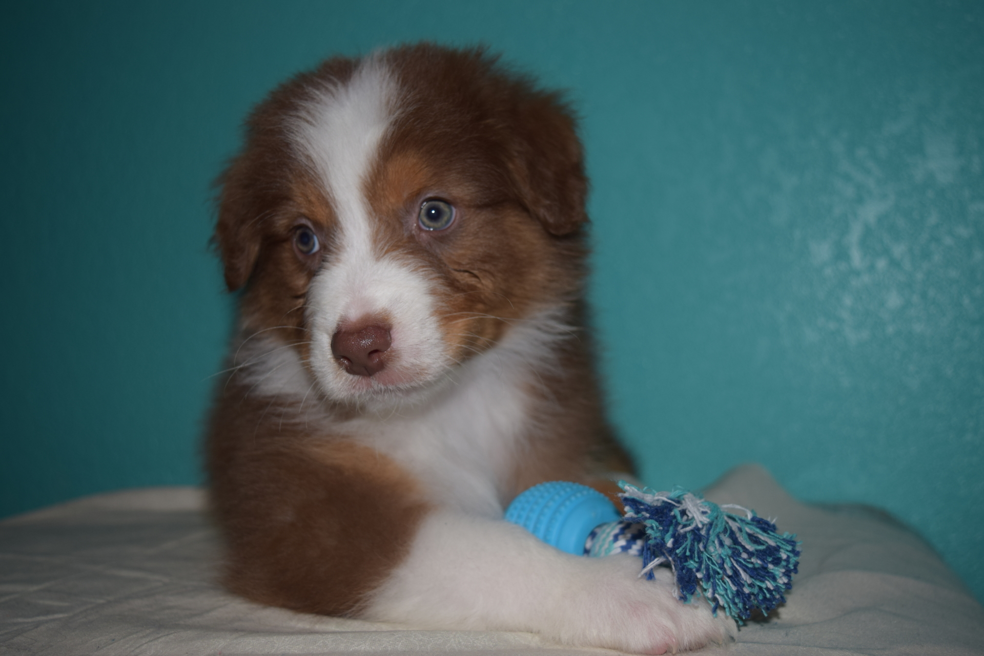 Red Tri Male Australian Shepherd Puppy #5 1 day