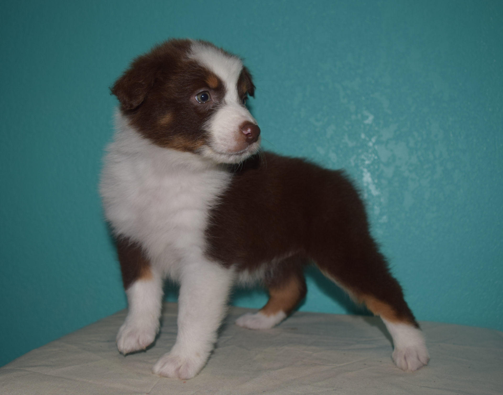 Red Tri Female Australian Shepherd Puppy #1 1 day
