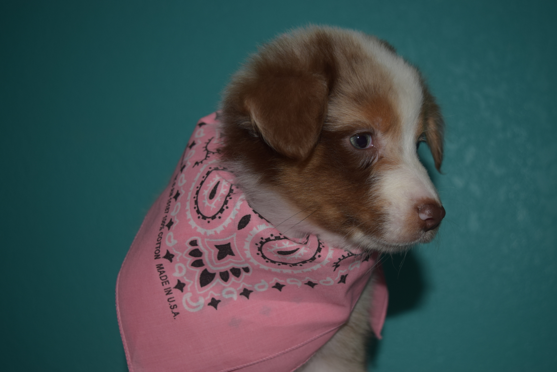 Red Merle Female Australian Shepherd Puppy #2 1 day