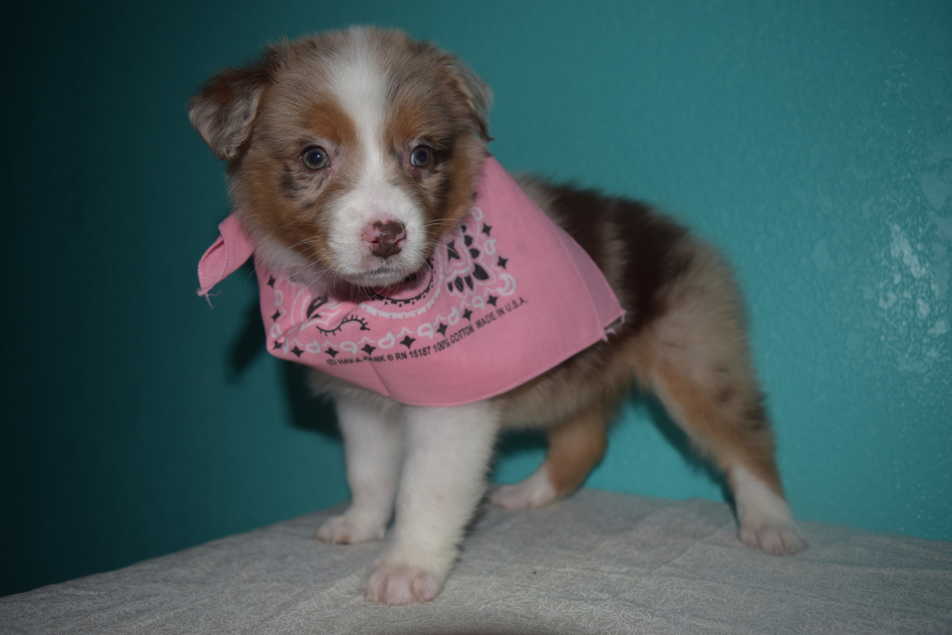 Red Merle Female Australian Shepherd Puppy #3 1 day