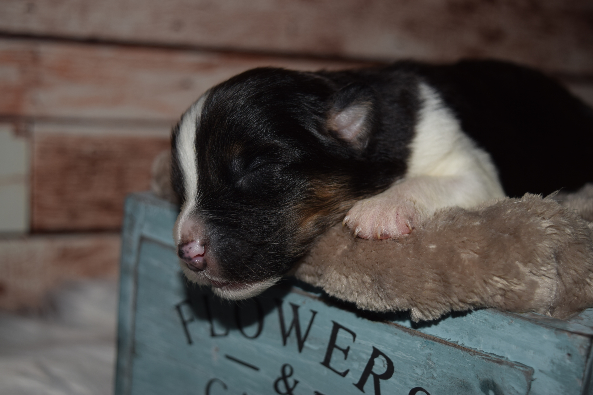 Red Tri Male Australian Shepherd Puppy #6 1 day