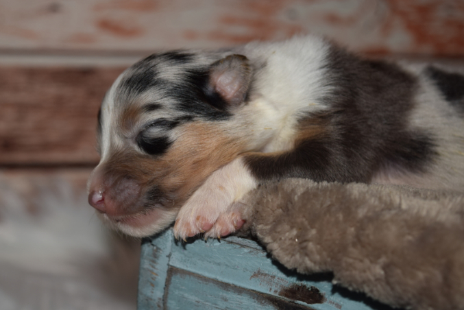 Black Tri Male Australian Shepherd Puppy #4 1 day